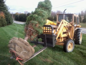 Large evergreen whit pines installed by Techmer Nursery located in New Paltz, NY