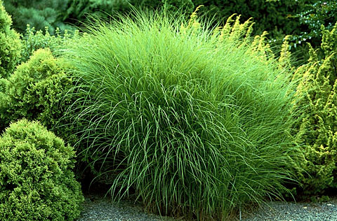 Deer proof resistant grasses ferns succulents for Maiden fountain grass