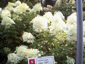 Lime Light Hydrangea in Flower at Techmer Nursery New Paltz, NY