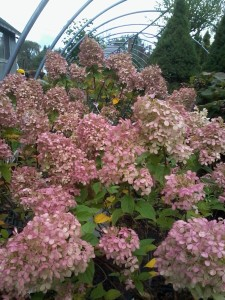 Lime Light Hydrangea Late season color