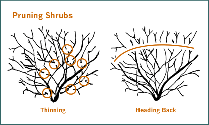 Thinning vs. Heading