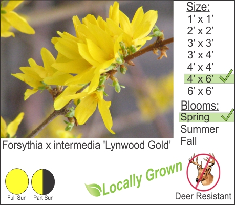 Forsythia x intermedia 'Lynwood Gold'