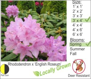 Rhododendron x 'English Roseum'