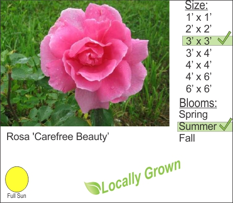 Rosa 'Carefree Beauty'