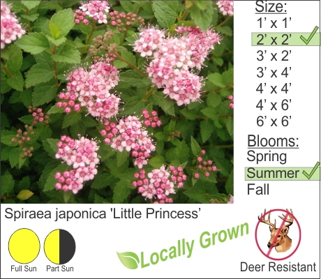 Spiraea japonica 'Little Princess'