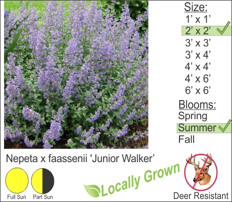 Junior Walker™ Catmint - Nepeta x faassenii