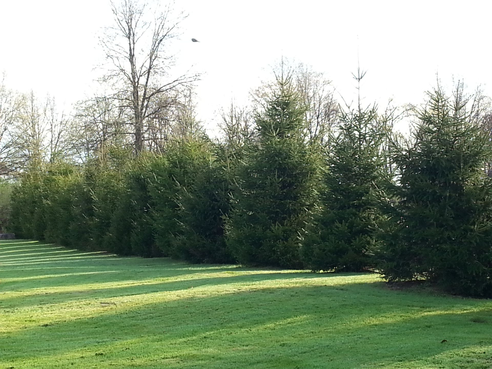 Spruce trees 4 years later