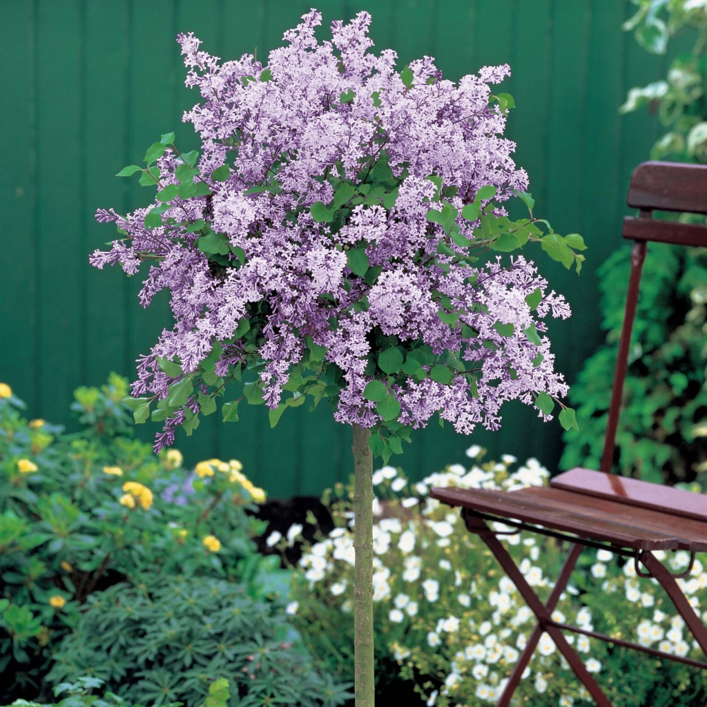 Topiary Lilac sold at Techmer Nursery Garden Center New Paltz, NY