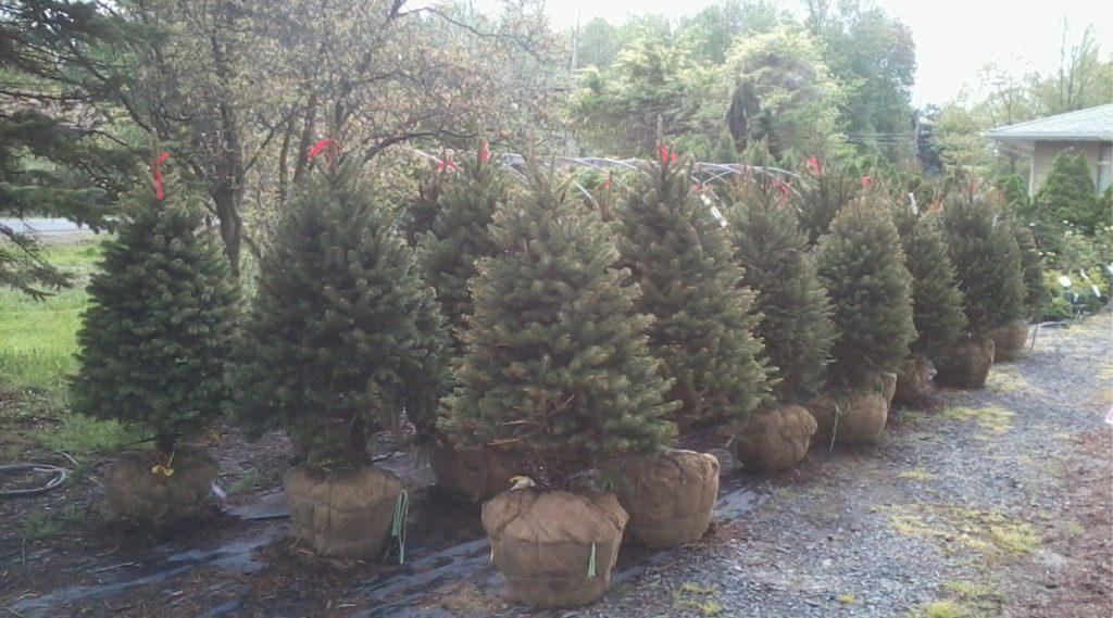 Spruce Tree Plantings