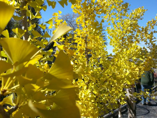 Brilliant yellow fall color trees Ginkgo biloba