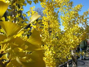 brilliant-yellow-fall-color-trees-ginkgo-biloba