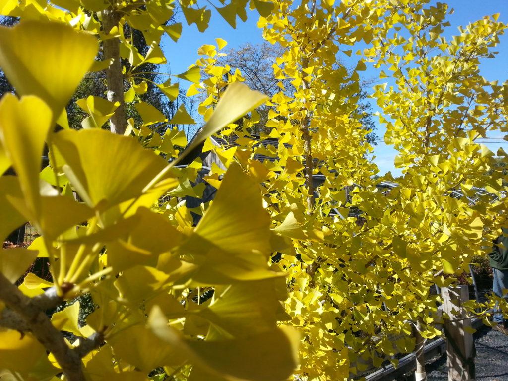 techmer-nursery-grows-ginkgo-trees