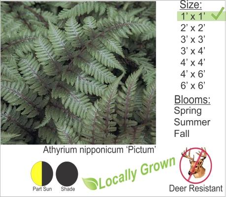 Athyrium nipponicum 'Pictum'