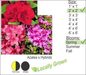 Azalea x Hybrids