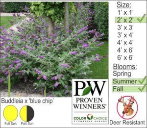 Buddleia x 'blue chip'