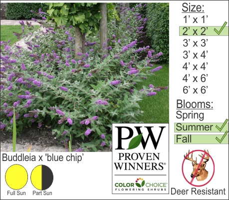 Buddleia x 'blue chip'
