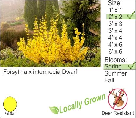 Forsythia x intermedia Dwarf