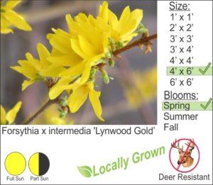 Forsythia x intermedia 'Lynwood Gold'