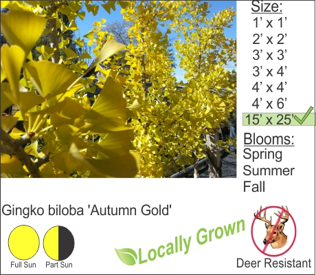Gingko -non fruiting male