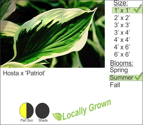 Hosta x 'Patriot'