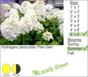 Hydragea paniculata 'Pee Gee'