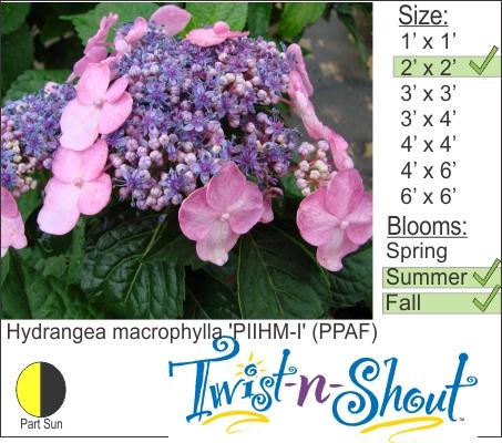 Hydrangea macrophylla 'PIIHM-I' (PPAF)