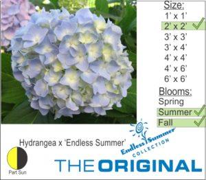 Hydrangea x 'Endless Summer'