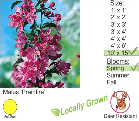 Prairie Fire Crab Apple