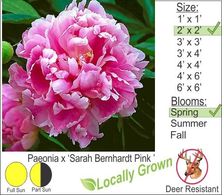 Paeonia x 'Sarah Bernhardt Pink '