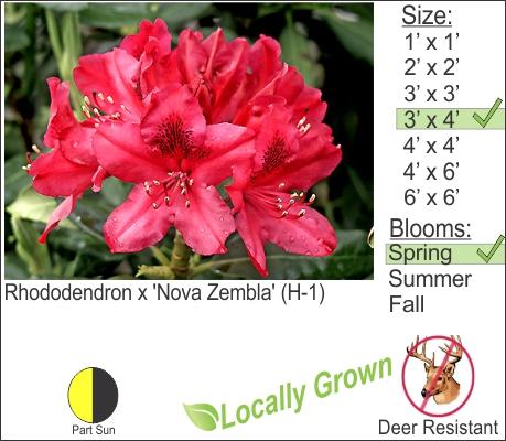 Rhododendron x 'Nova Zembla' (H-1)
