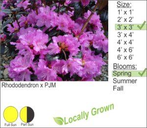 Rhododendron x PJM