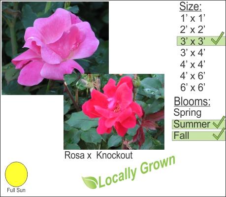Rosa x Knockout