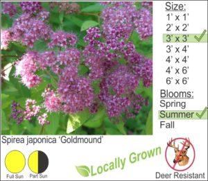 Spirea japonica 'Goldmound'