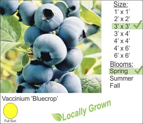 Vaccinium 'Bluecrop'