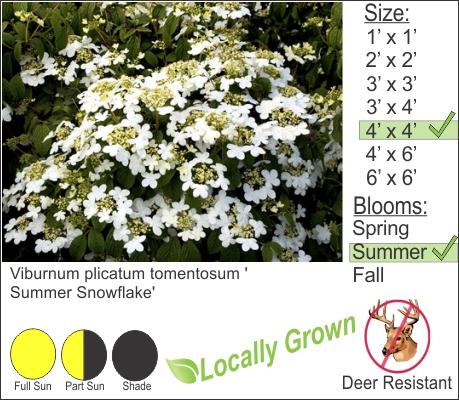 Viburnum plicatum tomentosum 'Summer Snow Flake'