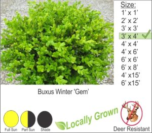 Buxus Winter 'Gem'