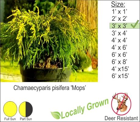 Chamaecyparis pisifera 'Mops'