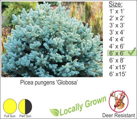 Dwarf Globe Blue Spruce