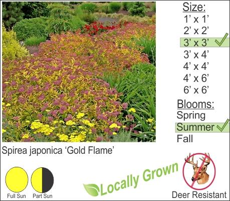 Spirea japonica 'Gold Flame'
