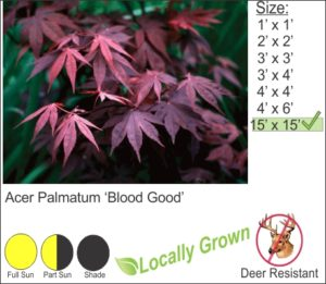 Acer Palmatum 'Blood Good'