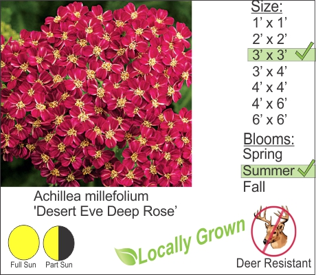 Desert Eve Deep Rose Yarrow - Achillea millefolium Desert Eve Deep Rose