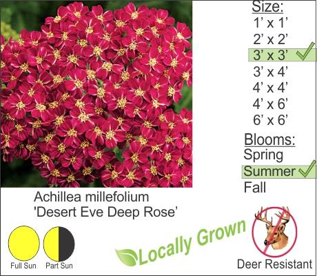 Desert Eve Deep Rose Yarrow - Achillea millefolium Desert Eve Deep Rose