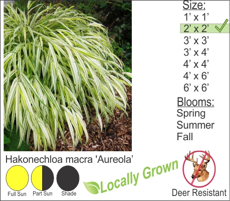 Golden Japanese Forest Grass - Hakonechloa macra 'Aureola'
