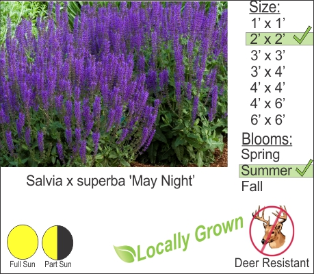 May Night Sage - Salvia x superba 'May Night'