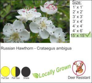 Russian Hawthorn - Crataegus ambigua
